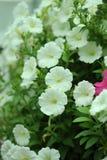 Slutet blommar upp av vita petunior Royaltyfria Foton