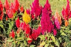 Slutet blommar upp bakgrund Fantastisk sikt av färgrika röda tulpan Royaltyfri Foto