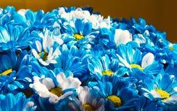 Slutet blommar upp bakgrund Krysantemumbukett Moder` s och kvinnors dag 8 mars Fotografering för Bildbyråer