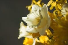 Slutet blommar upp på grå bakgrundsgulingvit Royaltyfri Fotografi