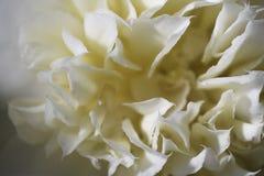 Slutet för blommahuvud sköt upp vit textur arkivbild