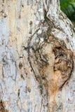 Slutet gnarl upp av träd Fotografering för Bildbyråer