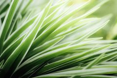 Slutet lämnar upp av chlorophytumen royaltyfria bilder