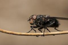 Slutet sköt upp av en fluga Arkivbilder