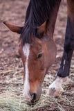 Slutet sköt upp av en häst som upp väljer hö från en jordning royaltyfri foto