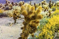 Slutet sköt upp av en kaktus i den Cholla kaktusträdgården, Joshua Tree National Park, Kalifornien, USA Ökenblommor Royaltyfri Fotografi
