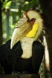 Wreathed Hornbill Royaltyfri Bild