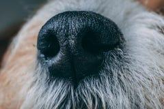 Slutet sköt upp av hundnäsa fotografering för bildbyråer
