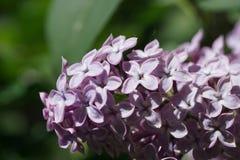 Slutet sköt upp av lila i solen royaltyfria bilder