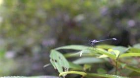 Slutet sköt upp av mörkt - den blåa purpurfärgade sländan som sätta sig på en grön bladväxt arkivfilmer