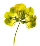 Slutet sköt upp av den pressande gula blomman Royaltyfri Bild