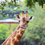 Slutet sköt upp av giraffhuvudet Royaltyfri Foto