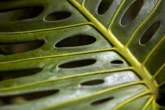 Slutet sköt upp av Philodendron Arkivbild