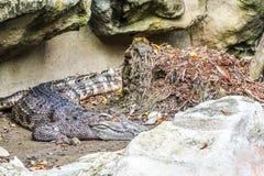 Slutet upp av den saltvattens- krokodilen som dyker upp från vatten med ett toothy grinar royaltyfria foton