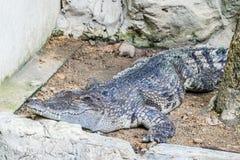Slutet upp av den saltvattens- krokodilen som dyker upp från vatten med ett toothy grinar arkivbilder