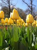 Slutet upp av gula tulpan i den Keukenhof trädgården i Nederländerna Arkivbilder