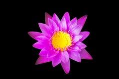 Slutet upp av violett eller purpurfärgad lotusblomma med det gröna bladet i dammet med det naturliga ljuset, svart bakgrund, isol Fotografering för Bildbyråer