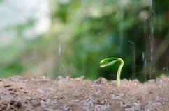 Slutet upp barn kärnar ur groende och växten som växer med regnwate Royaltyfri Fotografi