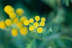 Slutet upp de gula lilla runda blommorna och det suddiga gröna gräset är som bakgrund arkivbilder