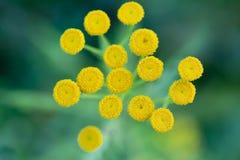 Slutet upp de gula lilla runda blommorna och det suddiga gröna gräset är som bakgrund royaltyfri bild