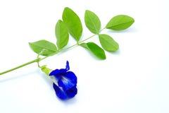 Slutet upp den blåa ärtan för fjärilen blommar på vit bakgrund arkivfoto