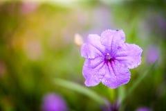 Slutet upp den Ruellia tuberosaRuellia clandestinaen är den violetta blomman Royaltyfri Bild