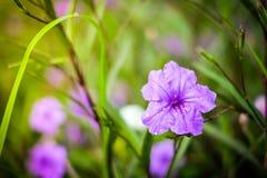 Slutet upp den Ruellia tuberosaRuellia clandestinaen är den violetta blomman Royaltyfri Fotografi