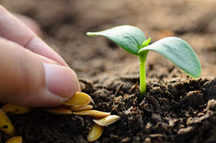Slutet upp den utvalda bonden kärnar ur för att plantera Arkivbilder