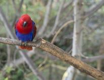 Slutet upp exotiska röda blått mekaniskt säga efter Agapornisparakitersammanträde på th fotografering för bildbyråer
