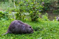 Slutet upp fotoet av en nutria som kallas också coypuen eller floden, tjaller, mot grön bakgrund royaltyfri fotografi