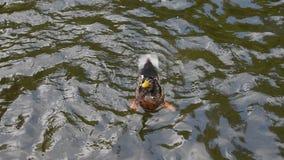 Slutet upp gräsandänder simmar snabbt i krusigt vatten stock video
