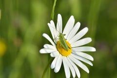 Slutet upp gräshoppa med tusenskönablomman Royaltyfri Bild