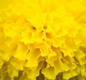 Slutet upp härlig ringblomma blommar i trädgården Royaltyfri Fotografi