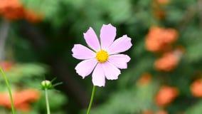 Slutet upp kosmos blommar i trädgård stock video