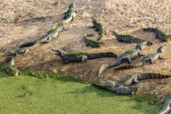 Slutet upp krokodil med ett toothy grinar Arkivbilder
