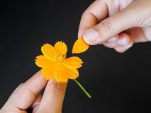 Slutet upp kvinnahanden river av kronblad av blomman med gula Polle Royaltyfri Foto