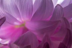 Slutet upp makro av abstrakta rosa färger blommar kronbladkrysantemumet royaltyfri fotografi