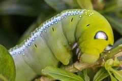 Slutet upp makroen Caterpillar/gräsplan avmaskar äter trädbladet arkivbild