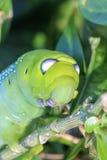 Slutet upp makroen Caterpillar/gräsplan avmaskar äter trädbladet royaltyfria bilder