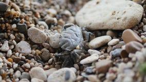 Slutet upp makroskottet av krabban som går på, vaggar strandkusten av havet stock video