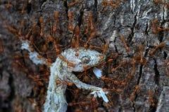 Slutet upp myror team arbete, röda myror bär ödlan för att bygga bo, myror bär mat Arkivbilder