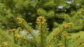 Slutet upp needl sörjer trädet i barrskogfilialer sörjer trädet i skog stock video