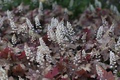 Slutet upp på bloomngheucherella blommar och bladet Arkivfoton