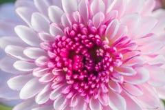 slutet upp rosa färger blommar abstrakt backgr för bakgrundsblommaabstrakt begrepp Arkivfoton