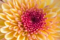 slutet upp rosa färger blommar abstrakt backgr för bakgrundsblommaabstrakt begrepp Royaltyfria Bilder