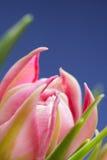 Slutet upp rosa färger blommar blomningen med blå bakgrund Arkivbilder