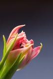 Slutet upp rosa färger blommar blomningen med mörker - blå bakgrund Fotografering för Bildbyråer