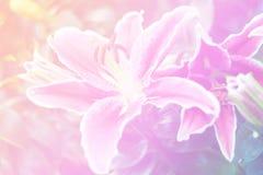 Slutet upp rosa färger blommar i naturlig förälskelse för friskhet i den conc valentin Arkivfoton