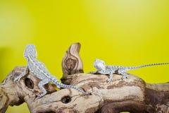 Slutet upp ståenden av behandla som ett barn uppsökte drakar för reptil ödlor Arkivbild