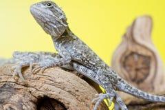 Slutet upp ståenden av behandla som ett barn uppsökte drakar för reptil ödlor Arkivfoto